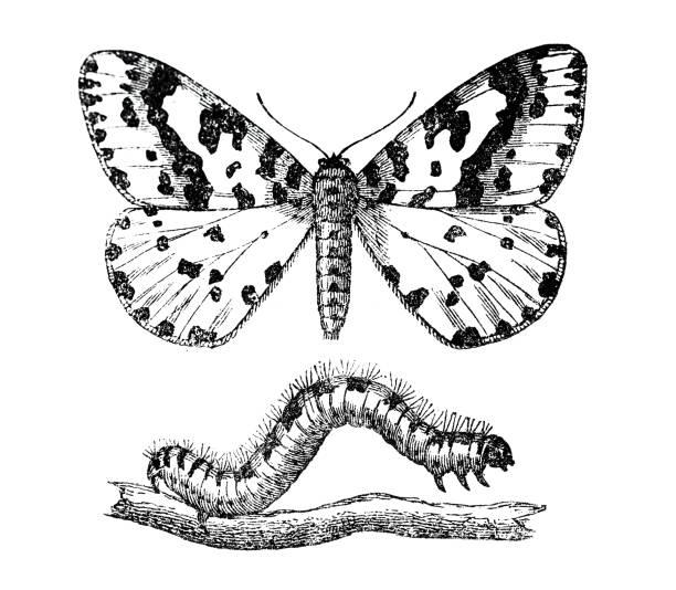 stockillustraties, clipart, cartoons en iconen met gooseberry spanner en caterpillar - rups