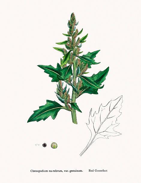ilustrações de stock, clip art, desenhos animados e ícones de ansarina ervas com sementes comestíveis estreitamente relacionadas com quinoa - quinoa
