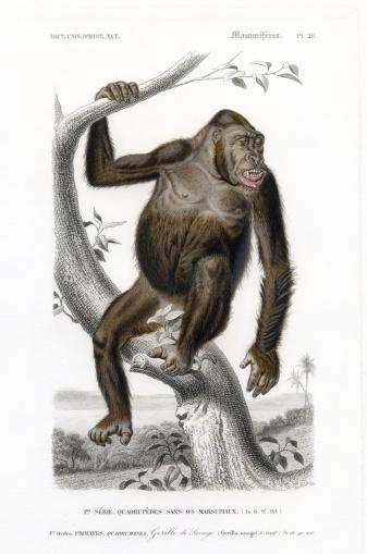 gorila,  historic Illustration, 1849
