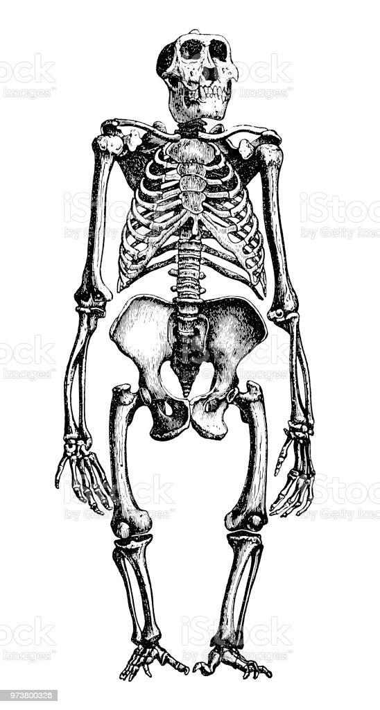Gorilla Skeleton Anthropoid Or Manlike Apes Stock Vector Art & More ...