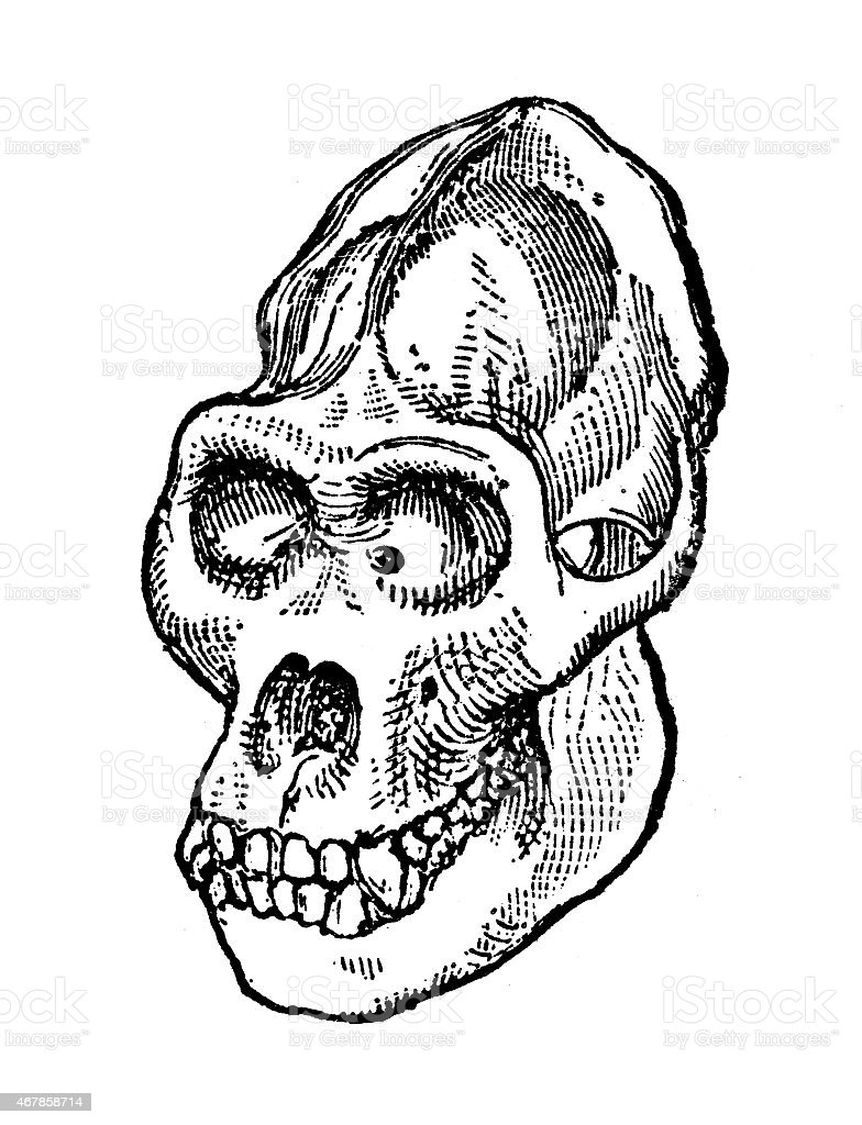 Gorilla Skull Stock Vector Art & More Images of 19th Century Style ...