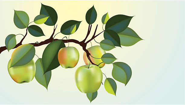 """granny smith apple branch """"beautiful granny smith apple branch ready for harvest, gradient mesh used"""" picking harvesting stock illustrations"""