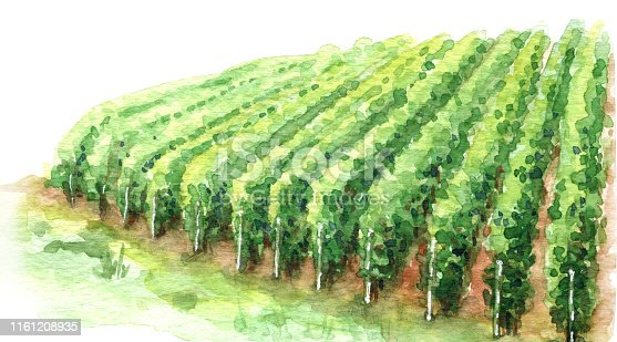 Hand drawn rural scene fragment of vineyard. Grape growing in rows watercolor sketch. Summer background with green cultivated plant.