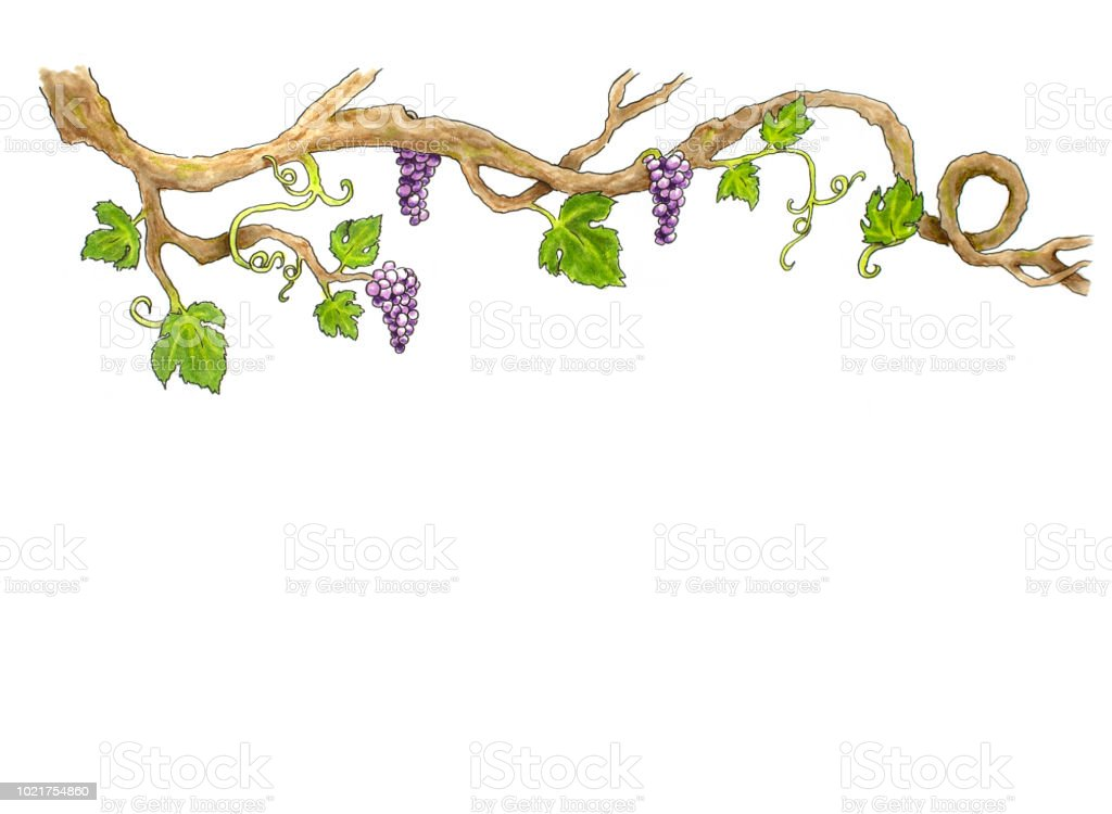 Grape Hand drawn illustration vector art illustration