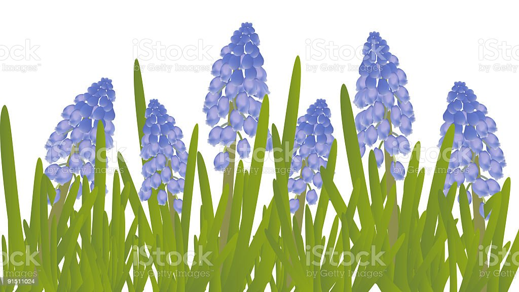 Grape Hyacinths royalty-free stock vector art