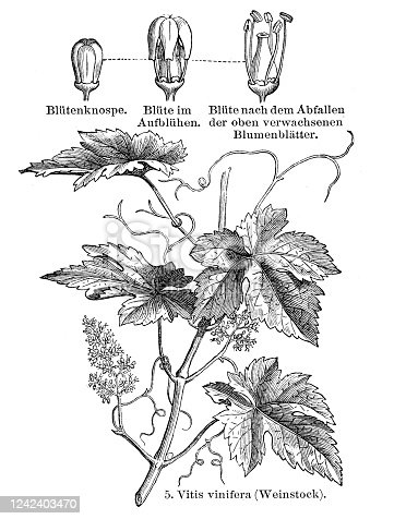 istock Grape vine plant illustration 1897 1242403470