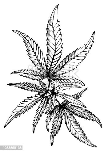 Graphic, a branch of Cannabis sativa (Cannabis indica, Marijuana) medicinal plant with leaves. Black and white outline illustration, hand drawn work. Isolated on white background.