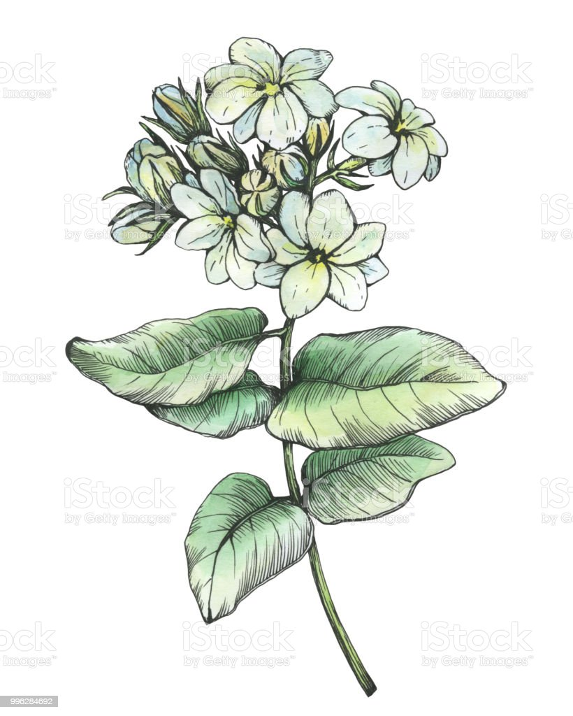 Graphic Branch Of Jasmine Plant With Flowers And Leaves Black And