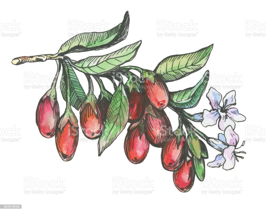 Graphic Of Goji Plant With Red Berries And Flowers Black And White