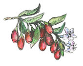 Graphic of goji plant with red berries and flowers (Lycium barbarum, matrimony vine, wolfberry). Black and white outline illustration with watercolor hand drawn painting. Isolated on white background.