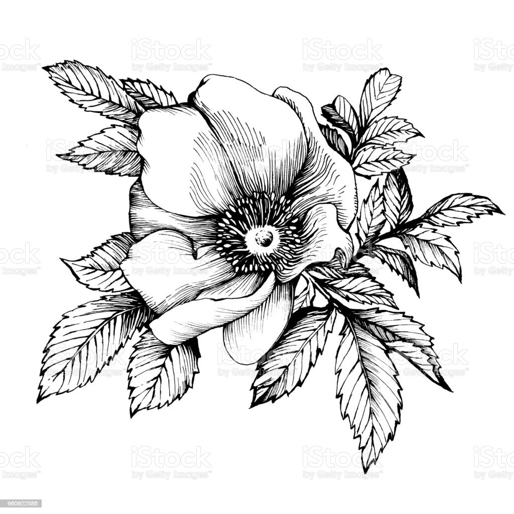 Graphic the branch flower dog rose names japanese rose rosa rugosa graphic the branch flower dog rose names japanese rose rosa rugosa black and mightylinksfo