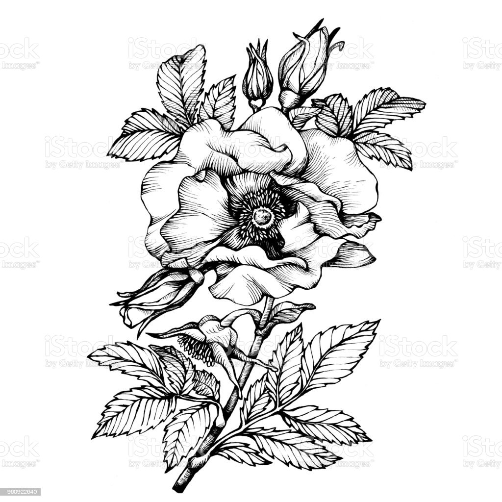 Graphic The Branch Flower Dog Rose Names Japanese Rose Rosa Rugosa