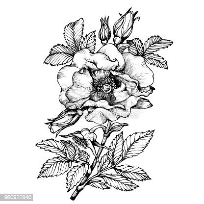 Graphic the branch flower dog rose names japanese rose rosa rugosa graphic the branch flower dog rose names japanese rose rosa rugosa black and white outline illustration stock vector art more images of animal wildlife mightylinksfo