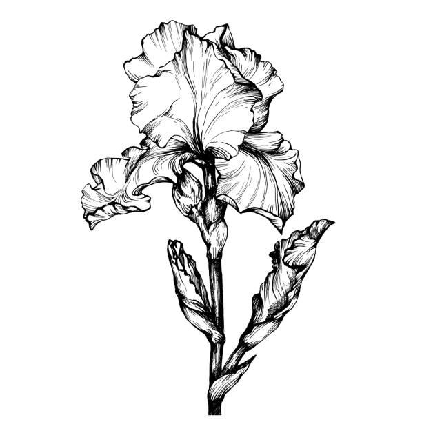 cb67e5e109589 Graphic the branch flower Iris. Black and white outline illustration.  vector art illustration