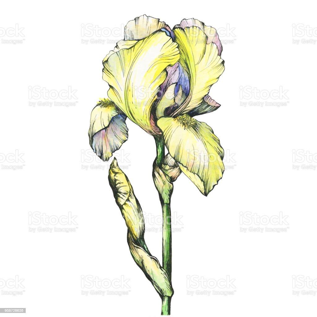 Graphique La Floraison De La Branche Jaune Iris Avec Bud
