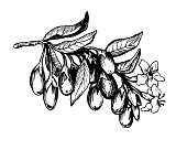Graphic the branch of goji plant with berries, flowers and leaves. Fresh goji fruits (Lycium barbarum, matrimony vine, wolfberry). Black and white outline illustration, isolated on white background.