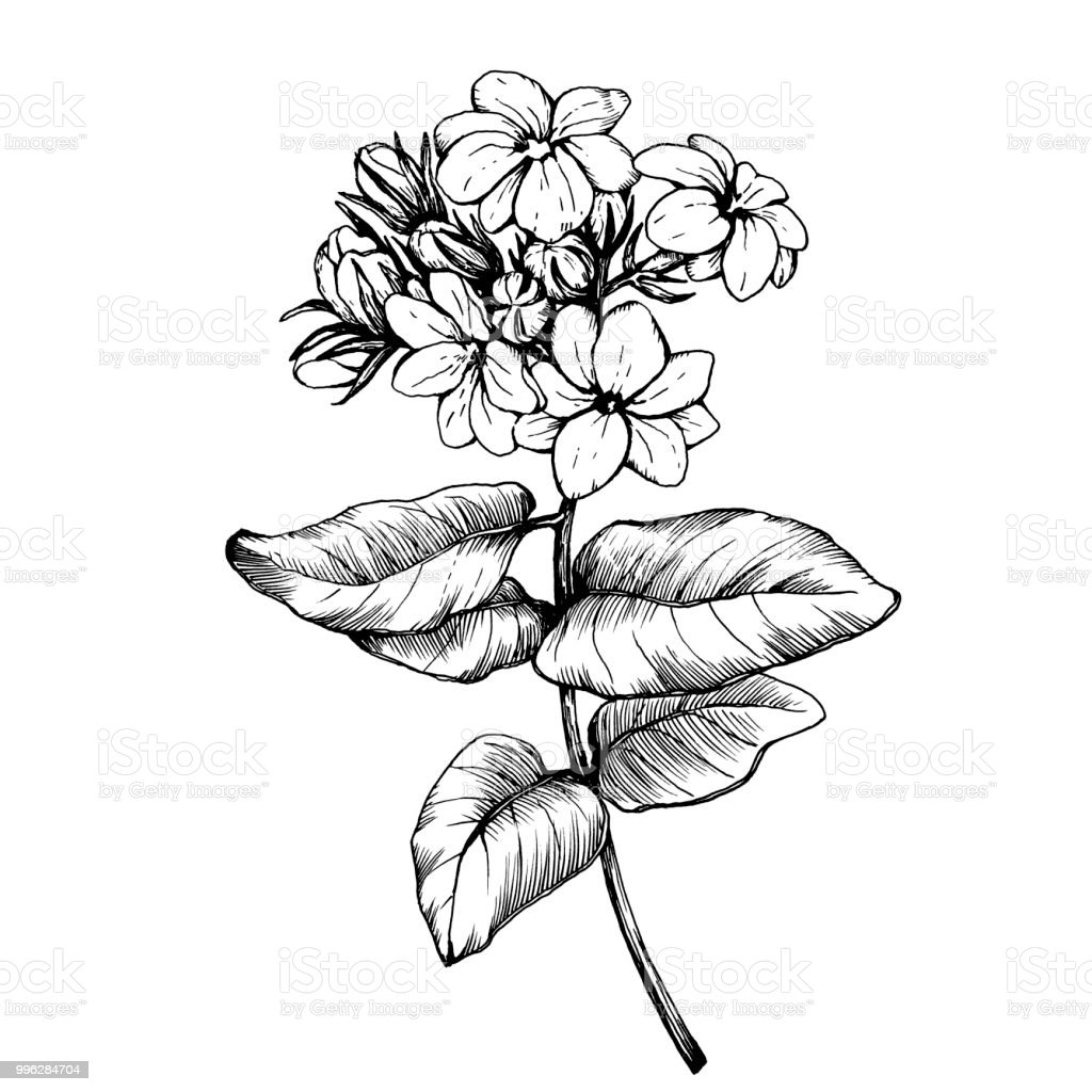 Graphic The Branch Of Jasmine Plant With Flowers And Leaves Black