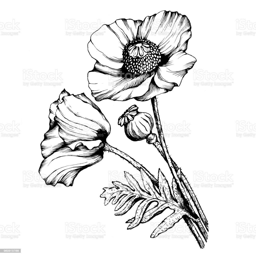 Graphic The Branch Poppies Flowers With A Bud Black And White