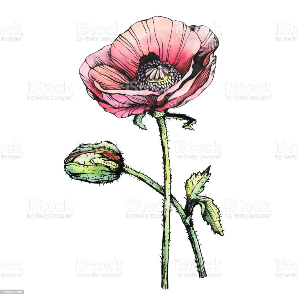 Graphic the branch red poppies flowers with a bud black and white graphic the branch red poppies flowers with a bud papaver somniferum the opium poppy mightylinksfo