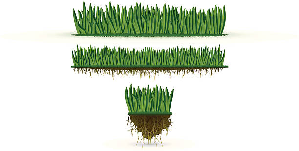 stockillustraties, clipart, cartoons en iconen met grass (high detail) - grasspriet