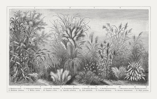 illustrazioni stock, clip art, cartoni animati e icone di tendenza di grasses, wood engraving, published in 1897 - miscanthus sinensis