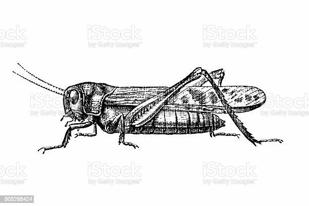 Free grasshopper Images, Pictures, and Royalty-Free Stock