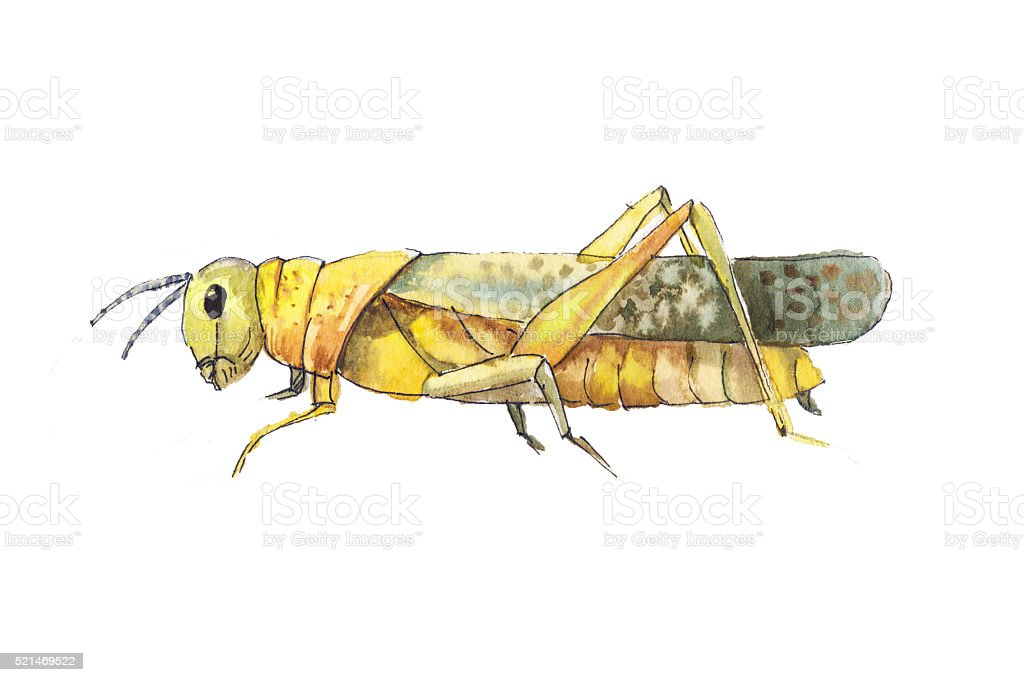 Grasshopper sketch. Hand drwan watercolor sketch of grasshopper. vector art illustration