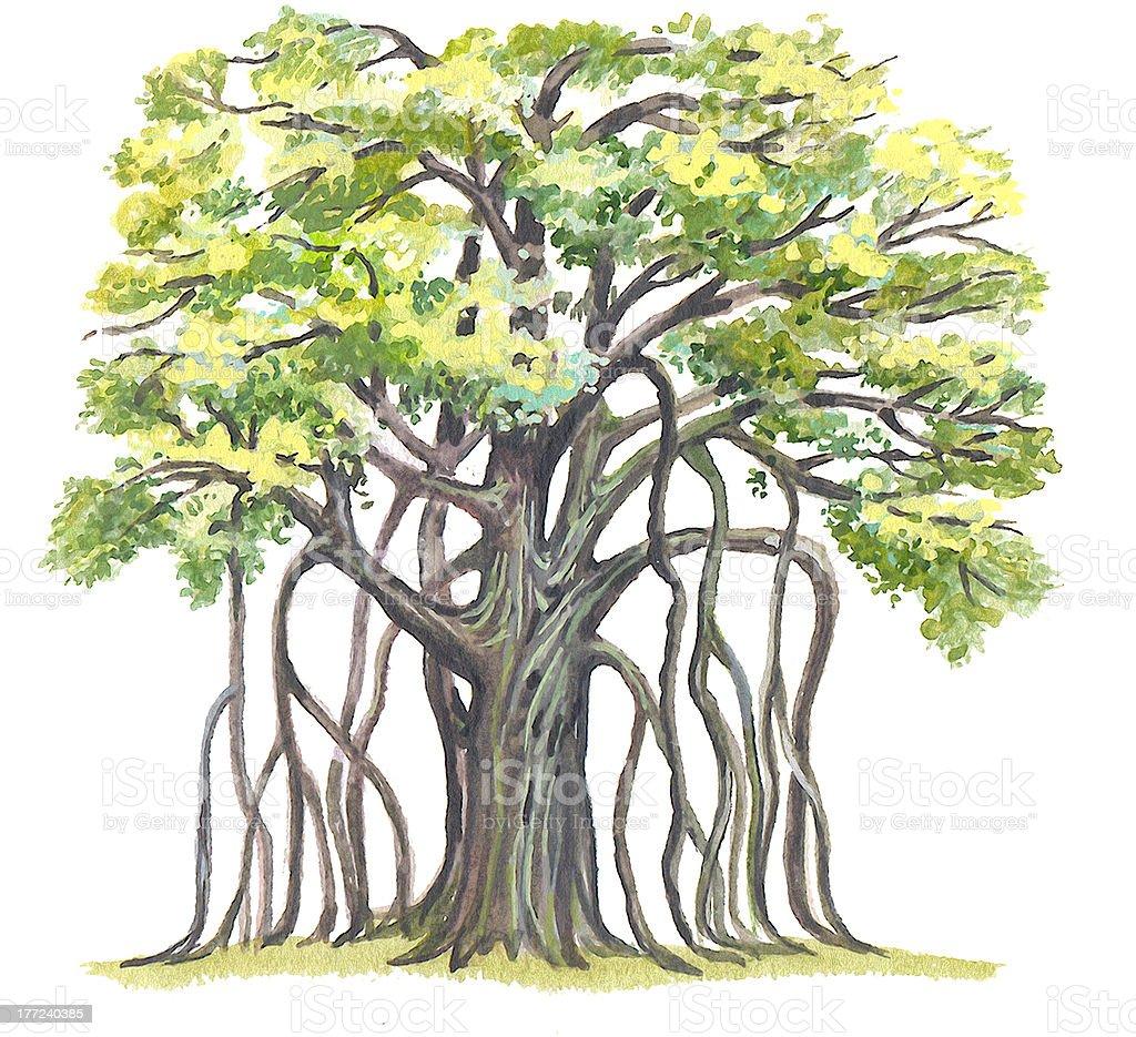 Great Banyan (Ficus benghalensis) vector art illustration