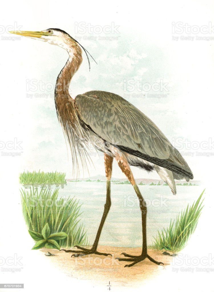 Great blue heron lithograph 1897 vector art illustration