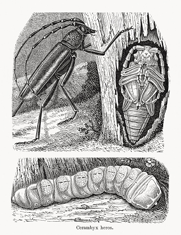 Great capricorn beetle (Cerambyx cerdo), wood engravings, published in 1893