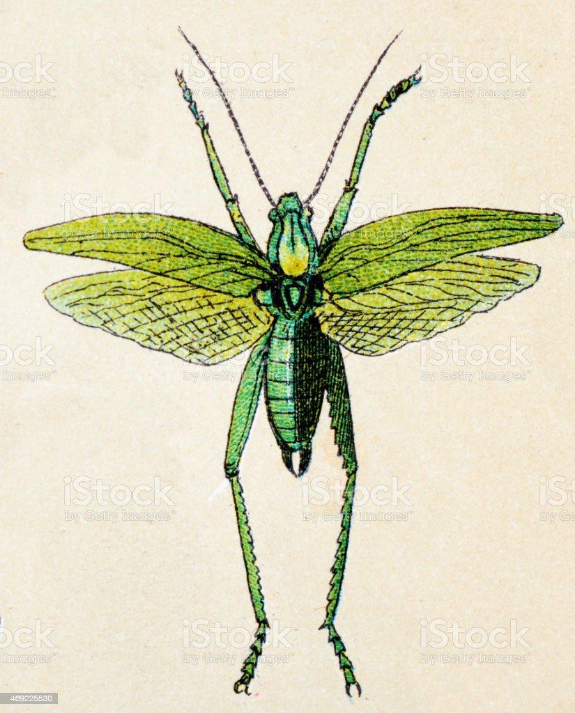 Great Green Bush-Cricket (Tettigonia viridissima), insect animals antique illustration vector art illustration