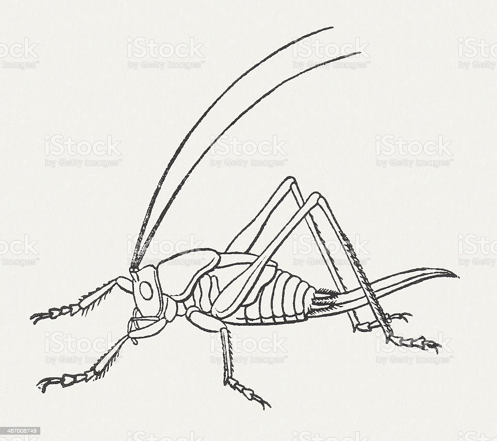 Great Green Bush-Cricket (Tettigonia viridissima, larva), wood engraving, published 1865 vector art illustration