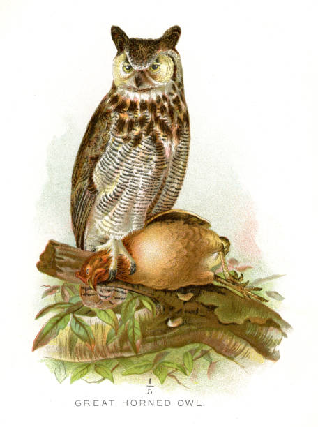great horned owl lithograph 1897 - great horned owl stock illustrations, clip art, cartoons, & icons