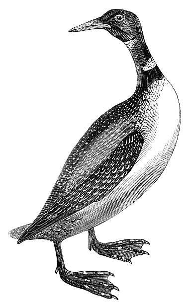 Great Northern Loon The Great Northern Loon (Gavia immer), is a large member of the loon, or diver, family of birds. Illustration was published in 1870 loon bird stock illustrations