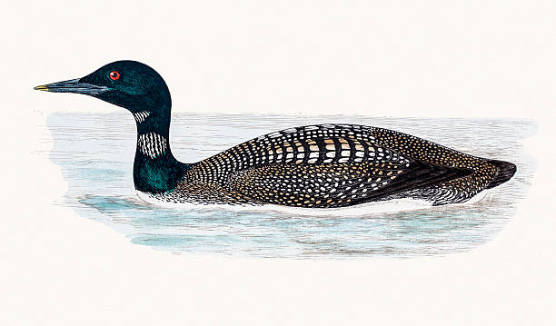Great Northern Loon A photograph of an original hand-colored engraving from The History of British Birds by Morris published in 1853-1891. loon bird stock illustrations