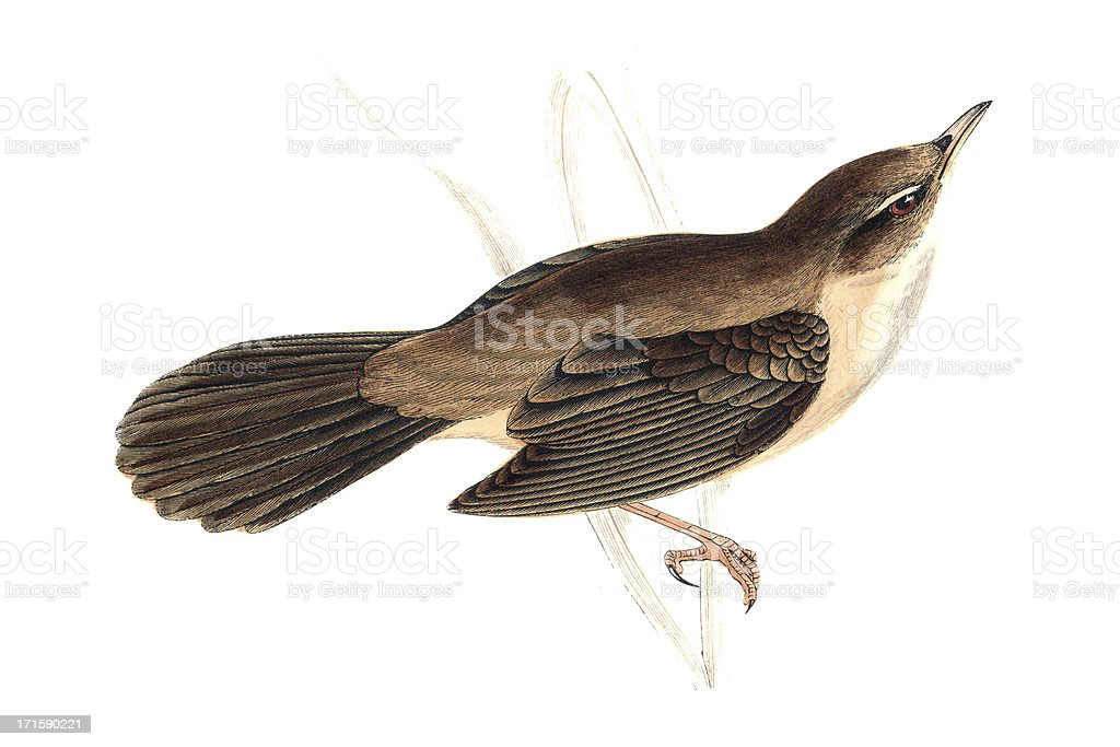 Great Sedge Warbler - Hand Coloured Engraving royalty-free stock vector art