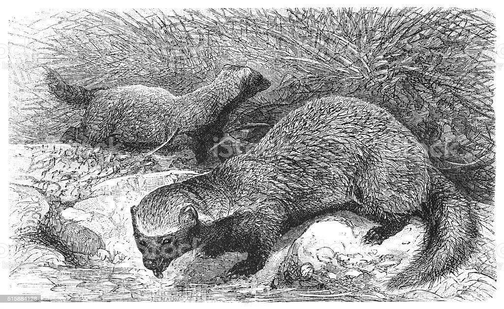 Grand grison (Galictis vittata - Illustration vectorielle