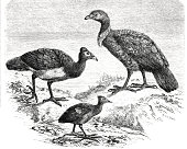 Greater Jungle-footed Hens