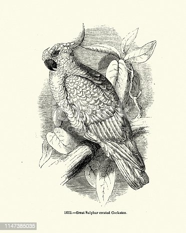 Vintage engraving of a Greater sulphur-crested cockatoo,  (Cacatua galerita galerita) is the nominate subspecies of the sulphur-crested cockatoo. It is native to eastern Australia from Cape York to Tasmania