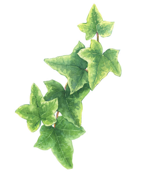 stockillustraties, clipart, cartoons en iconen met groene tak hedera nepalensis (hedera helix) klimop genoemd. floral botanische foto. hand getrokken aquarel illustratie geïsoleerd op een witte achtergrond. - klimop