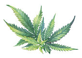 A green branch of Cannabis sativa (Cannabis indica, Marijuana) medicinal plant with leaves. Watercolor hand drawn painting illustration isolated on a white background.