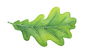 Green decorative oak leaf watercolour illustration. Symbol of strength, endurance, durability, regeneration, stability.