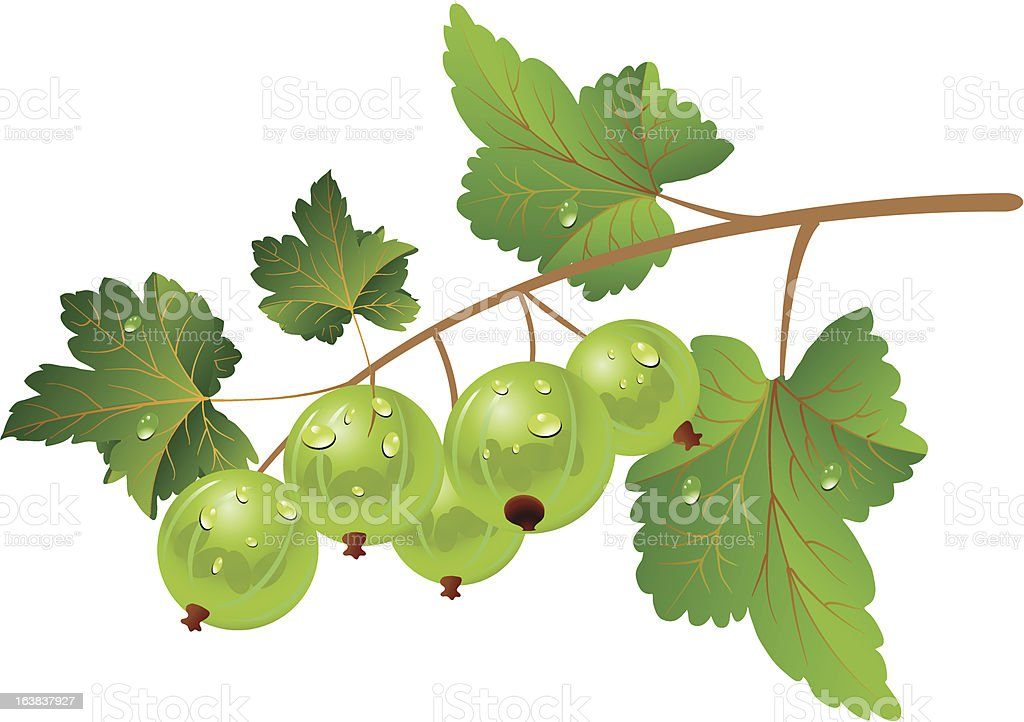 Green gooseberry royalty-free green gooseberry stock vector art & more images of berry fruit