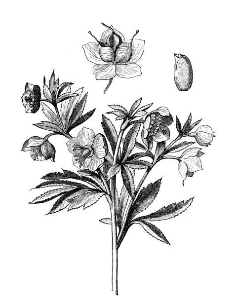 Green hellebore (Helleborus viridis) Illustration of a Green hellebore (Helleborus viridis) corn lilly stock illustrations