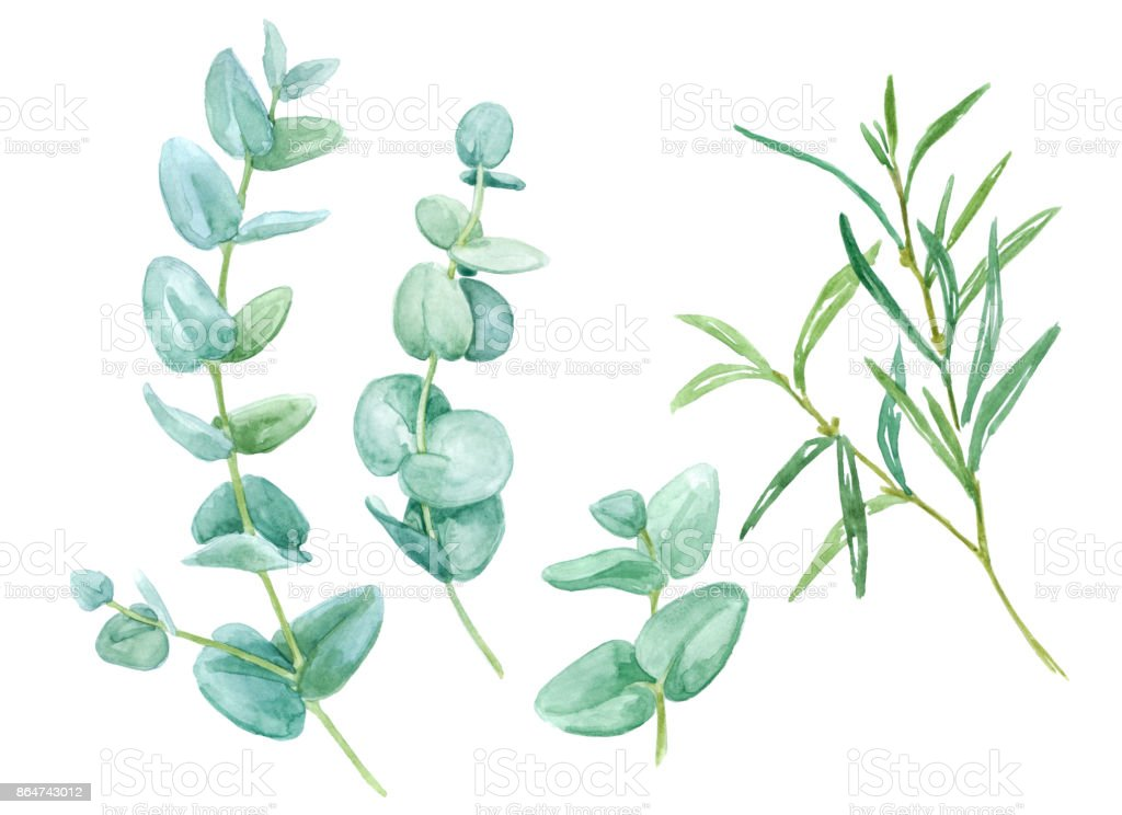 Green leaves eucalyptus on white background vector art illustration