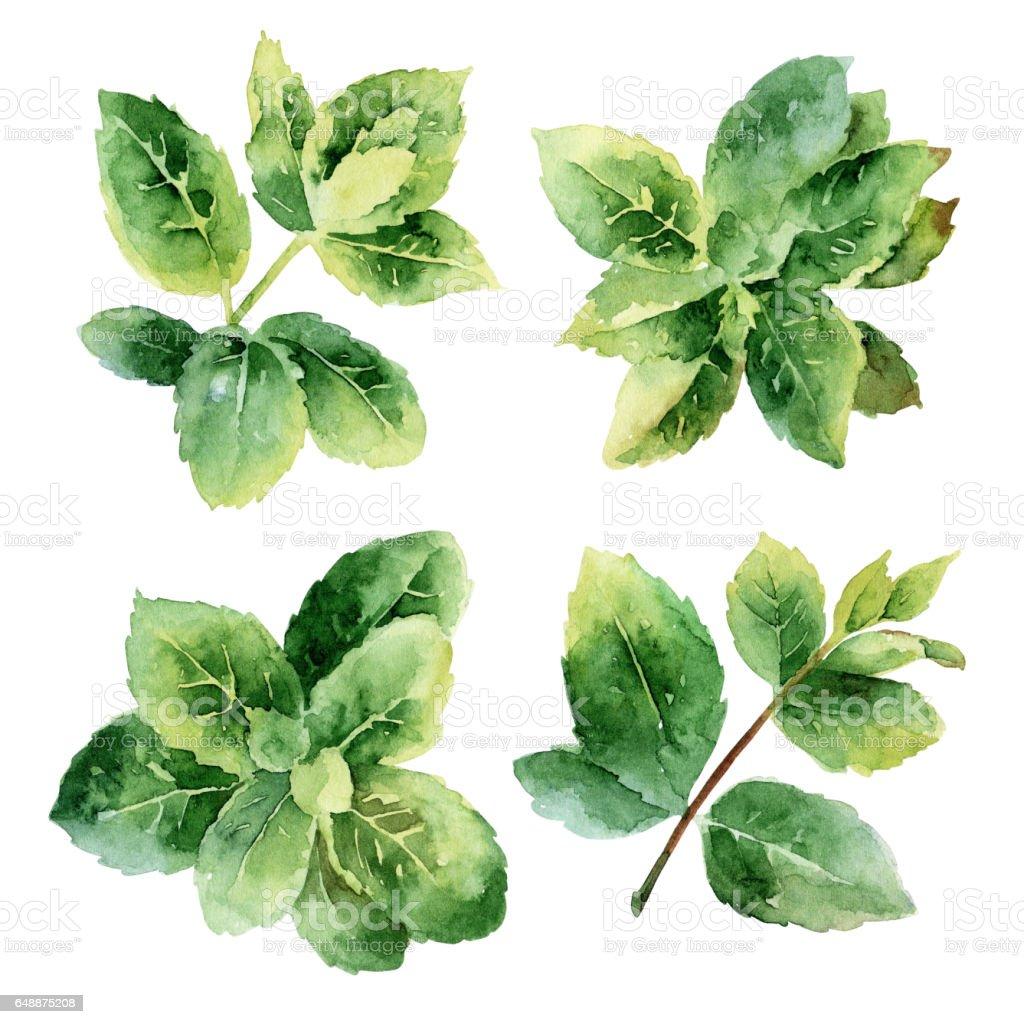 Green mint leaves vector art illustration