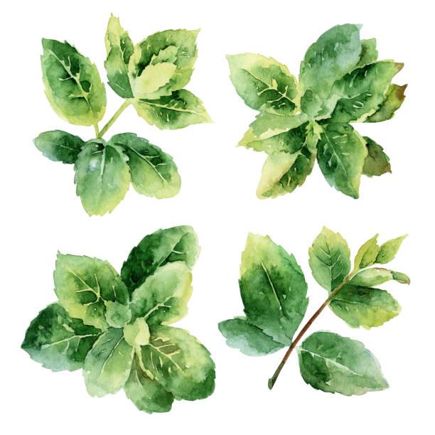 illustrazioni stock, clip art, cartoni animati e icone di tendenza di foglie di menta verde - mika