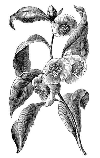 illustrazioni stock, clip art, cartoni animati e icone di tendenza di green tea (camellia sinensis) - camellia sinensis