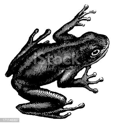 istock Green tree frog   Antique Animal Illustrations 171145337