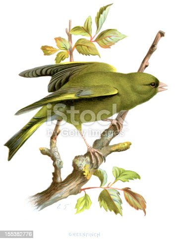 Vintage lithograph from 1883 of a Greenfinch (Carduelis chloris), a small passerine bird in the finch family Fringillidae.